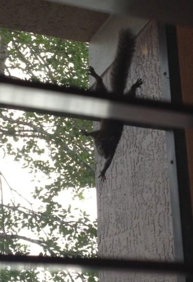 squirrel web
