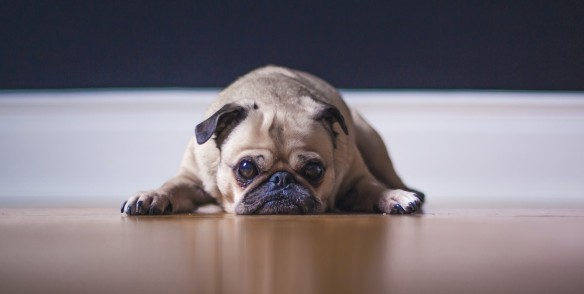 sad pug matthew-henry-6x-hVXXiBxs-unsplash (2)